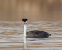 Western Grebe (Aecgmorphus occidentalis)