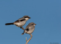 Loggerhead Shrike (Lanius ludovicianus) adult with fledgling