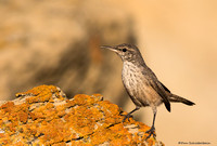 Rock Wren (Salpinctus obsoletus)