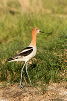 Avocets and Stilts (family Recurvirostridae)