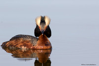 Horned Grebe  (Podicepts auritus)
