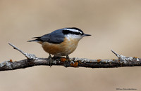 Nuthatches (family Sittidae)