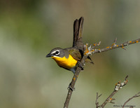 Yellow-breasted Chat (Icteria virens)
