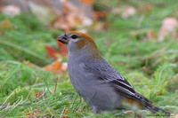 Pine Grosbeak - female (Pinicola enucleator)