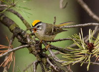Gold-crowned Kinglet (Regulus satrapa)
