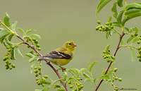 American Goldfinch (female) (Spinus tristis)