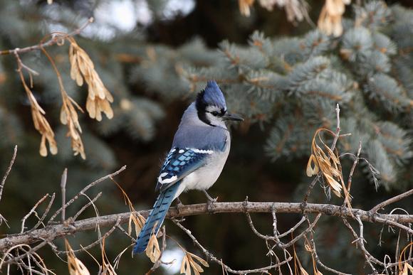 Blue Jay Cyanocitta cristata)