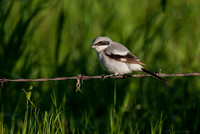 Loggerhead Shrike (Lanius ludovicianus) adult storing prey (small frog) on barb wire