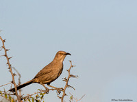 Curved-billed Thrasher (Toxostoma curvirostre)